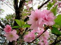 軽井沢の桜・2021 * GW最終日の桜と萌えはじめた新緑♪ - ぴきょログ~軽井沢でぐーたら生活~