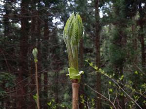 春の山菜~その5(アマドコロ・タラノメ・コゴミ・シドケ・ウド・コシアブラ・ハリギリ)2021/5/1 - ソロで生きる