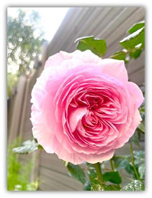 バラが咲いた? - ◆Cinq*Etoiles◆