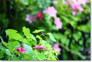 クレマチスのダイアナとバラの色々 - すきな ことに かこまれて