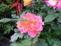 庭の薔薇 - しゅんこう日記