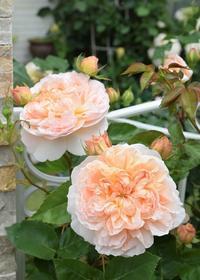 続バラの開花➇1番花が散り始め・・ - バラとハーブのある暮らし Salon de Roses