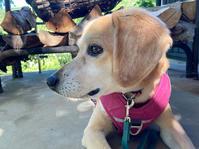 キウイの受粉 - 犬と楽しむスローライフ