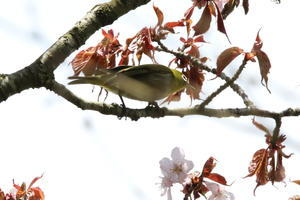 メジロ /  花見は近間で⑤ - 今日の鳥さんⅡ