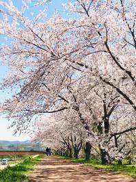 桜並木♪ - 笑う門には福来たる