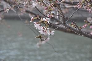 桜とハーブスの苺のショートケーキ♪ - a&kashの時間。