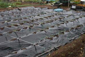 午後から雨になりさつまいも苗は大喜び。 - 甲府の野菜畑