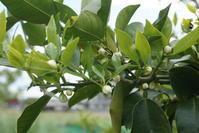 柚子、今年は豊作か - 「今日の一枚」
