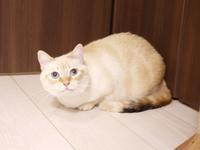 猫のお留守番 いくらちゃん編。 - ゆきねこ猫家族