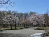 桜 - 村田ピアノ教室のブログ ~北海道旭川市より~