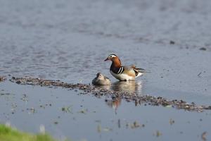 田んぼにオシドリペア - 鳥・撮り・トリミング