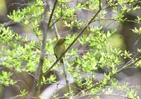 野鳥撮影 (メジロ、コムクドリ、アオゲラ他) - 味わう瞬間 (とき)