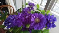 紫色の花 クレマチス・スーパーベナ・ジャーマンアイリス - ニッキーののんびり気まま暮らし