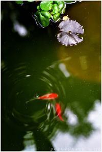水草と金魚 - ぶらぶらデジカメ写真 by はる