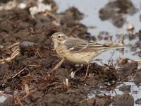 渡去前のタヒバリ - コーヒー党の野鳥と自然パート3
