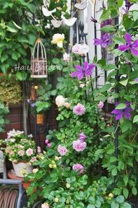 ブルーローズ祭り♪♪ - ハイジの玄関先ガーデン エピソード2♪