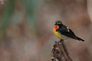 声はすれども姿は見えず キビタキ - 野鳥公園