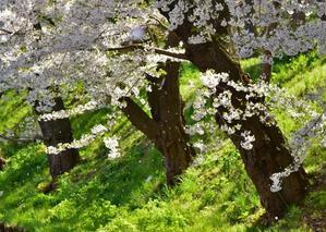桜吹雪 - 写真でイスラーム