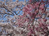 五所川原 菊ヶ丘運動公園の桜 - 窓の向こうに