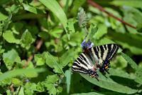 カキドオシで吸蜜するギフチョウ - 蝶鳥写楽