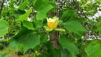 ユリノキが開花した!・・・スマホでマクロ?(^^;太田イオンモールの我が標本木♪ - 『私のデジタル写真眼』