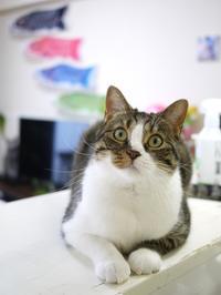 猫のお留守番 コムギくん編。 - ゆきねこ猫家族