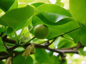 熊本梨 岩永農園 匠の摘果作業(2021) 今年は花の時期が早かったたため早くも1次摘果完了です! - FLCパートナーズストア