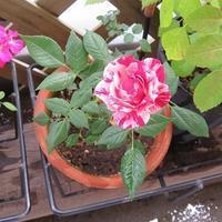 絞り柄のミニバラが咲いたこと&花結びは終わらないこと - あれこれ手仕事日記 new!