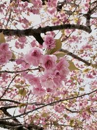 5月8日と9日の八重桜。 - 今日は何をする?