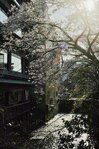 京都桜2021 - 写真部