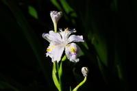 影日向に咲くシャガ - はーとらんど写真感