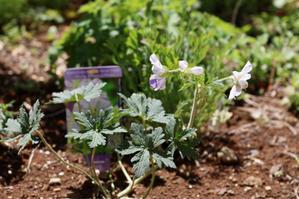 宿根草の植え付け - my small garden~sugar plum~
