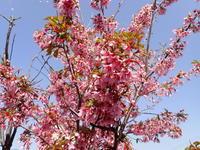 我が家の桜2021 - ひだかの山に癒やされて