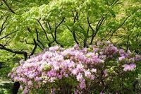 新緑とツツジ(弥彦公園) - くろちゃんの写真