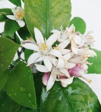 レモンの花が咲きました - parfumlabo