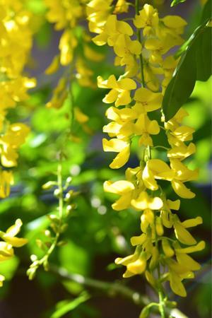 お庭では…キングサリが咲いてます… - 薔薇好き花好き庭が好き?元英国在住・アートセラピストが造る癒しの庭