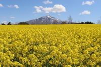 菜の花と岩木山(鯵ケ沢町)*2021.05.09 - 津軽ジェンヌのcafe日記