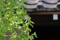 足立区下町界隈の住宅と一体の庭木。 - 一場の写真 / 足立区リフォーム館・頑張る会社ブログ