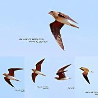 ツバメチドリは本州、九州の埋め立て地などで繁殖するが、局地的で多くない - THE LIFE OF BIRDS ー 野鳥つれづれ記
