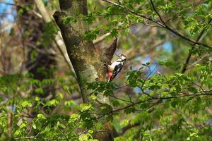 2021-074 新緑の隙間にアカゲラ - 近隣の野鳥を探して2