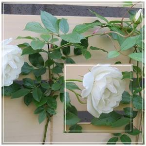 <バラが咲いた~^^♪> - ばぁ~夢