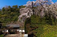 2021桜咲く京都 善法律寺のしだれ桜 - 花景色-K.W.C. PhotoBlog