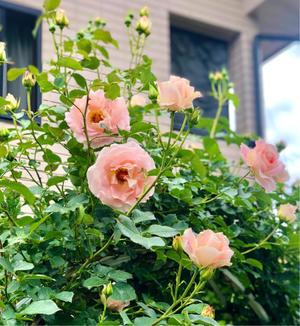 ロココが止まらない♡と咲き進んだバラ達♫ - 薪割りマコのバラの庭