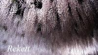 美しい藤のはなに誘われて~❤ - インテリア&ガーデンSHOP rekett
