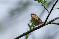ヤブサメ - 北の大地で野鳥ときどきフライフィッシング