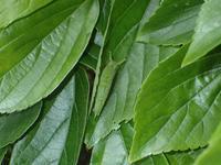 オオムラサキ幼虫 - 秩父の蝶