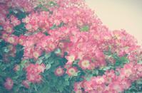 rose rose - IL EST TROP TARD 時は過ぎゆく ... 2