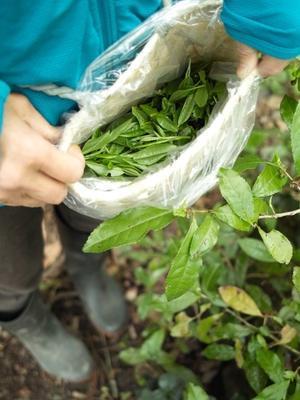 庭のチャノキで新茶を・・・・朽木小川・気象台より - 朽木小川・気象台より、高島市・針畑・くつきの季節便りを!