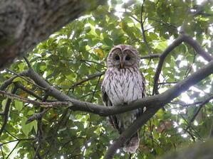 見守るお母さんフクロウ  SKJ - シエロの野鳥観察記録