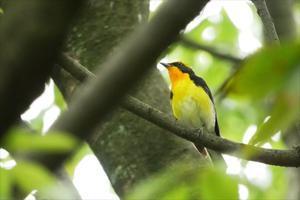 キビタキ、ビンズイ、キマユムシクイ - 川の鳥見日記3